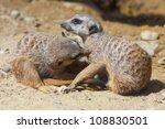 Two Meerkats Indulge