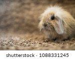studio shot of domestic rabbit...   Shutterstock . vector #1088331245