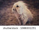 studio shot of domestic rabbit...   Shutterstock . vector #1088331251