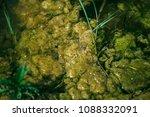 swamp algae. green algae... | Shutterstock . vector #1088332091