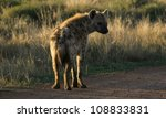 a spotted hyena stops and...   Shutterstock . vector #108833831