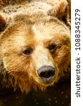 Small photo of the penetrating gaze of the bear