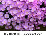 aster amellus  the european... | Shutterstock . vector #1088375087