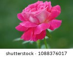 beautiful pink rose on a green... | Shutterstock . vector #1088376017