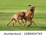 Small photo of Two frisky fawn colored German Boxer dogs, a puppy and his older friend playing and run a funny race across a green meadow, Germany