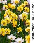 field of blooming yellow...   Shutterstock . vector #1088444555