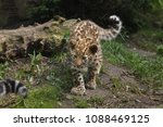 three month old amur leopard ... | Shutterstock . vector #1088469125
