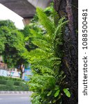 Small photo of The fern dwells on the tree to grow, or is called the parasite. Fern is grown as ornamental plant. Grows well in the damp.