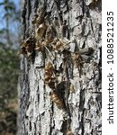 Small photo of Many empty old bug shells or casings from molting on a tree