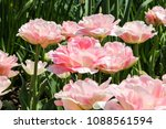 peonies blossom close up  | Shutterstock . vector #1088561594