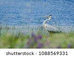 grey heron  ardea cinerea in... | Shutterstock . vector #1088569331