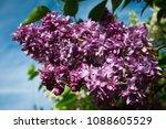 lilac. lilacs  syringa or...   Shutterstock . vector #1088605529