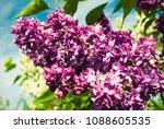 lilac. lilacs  syringa or...   Shutterstock . vector #1088605535