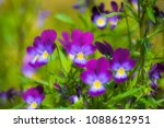 bright flowers of violets in... | Shutterstock . vector #1088612951