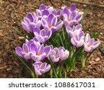 flowers of spring crocus ...   Shutterstock . vector #1088617031
