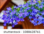 blue violet lobelia erinus... | Shutterstock . vector #1088628761