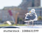 tousled bird seagull with city... | Shutterstock . vector #1088631599