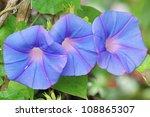 Morning Glory Flower.