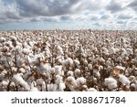 cotton ready for harvest | Shutterstock . vector #1088671784
