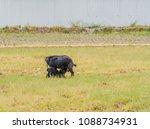 young black bengal kid suckling ... | Shutterstock . vector #1088734931