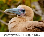 close up of red footed booby ... | Shutterstock . vector #1088741369