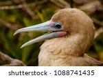 close up of red footed booby ... | Shutterstock . vector #1088741435