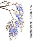 Beautiful Blue Wisteria Flowers ...