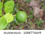 green lime on tree  fresh lemon | Shutterstock . vector #1088776649