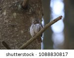 eurasian pygmy owl swabian jura ... | Shutterstock . vector #1088830817