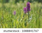 dactylorhiza majalis  western...   Shutterstock . vector #1088841767