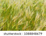 Small photo of The yellow barley field tremble in the breeze. Farmer will share the joy of harvesting ripe them in yellow color.