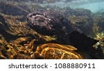 very rare giant salamander....   Shutterstock . vector #1088880911