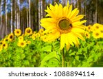 sunflower with bee  on... | Shutterstock . vector #1088894114