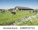 cows in dutch meadow on sunny... | Shutterstock . vector #1088925731
