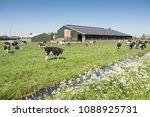 cows in dutch meadow on sunny... | Shutterstock . vector #1088925731
