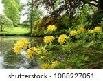 Small photo of Azalea accolade..... beautiful yellow flowers against a backdrop of a lake with reflections and light