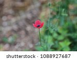 Small photo of pink rough poppy flower or round prickly headed poppy Latin papaver hybridum family papaveraceae in a meadow in springtime in Italy papavero