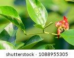 Erythrina Corallodendron  Cora...