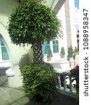beautiful bonsai tree in the... | Shutterstock . vector #1088958347