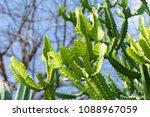 cactus grown as ornamental... | Shutterstock . vector #1088967059