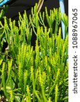 cactus grown as ornamental... | Shutterstock . vector #1088967065