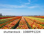 The Tulip Fields In Springtime...