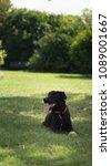 black dog lying under a tree in ... | Shutterstock . vector #1089001667