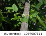 passiflora foetida fetid... | Shutterstock . vector #1089007811
