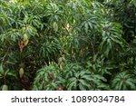 mango tree with mango fruit   Shutterstock . vector #1089034784
