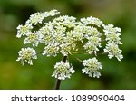 fools parsley umbellifers... | Shutterstock . vector #1089090404