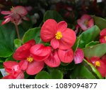 Red Shimmery Wax Begonias...