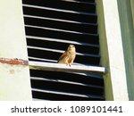 common kestrel  falco...   Shutterstock . vector #1089101441