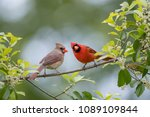 northern cardinal male and... | Shutterstock . vector #1089109844