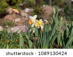 Two White Daffodils With A...